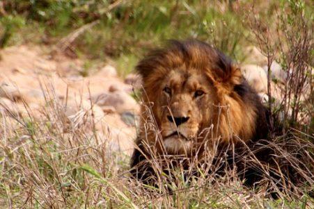 lion-426991__340